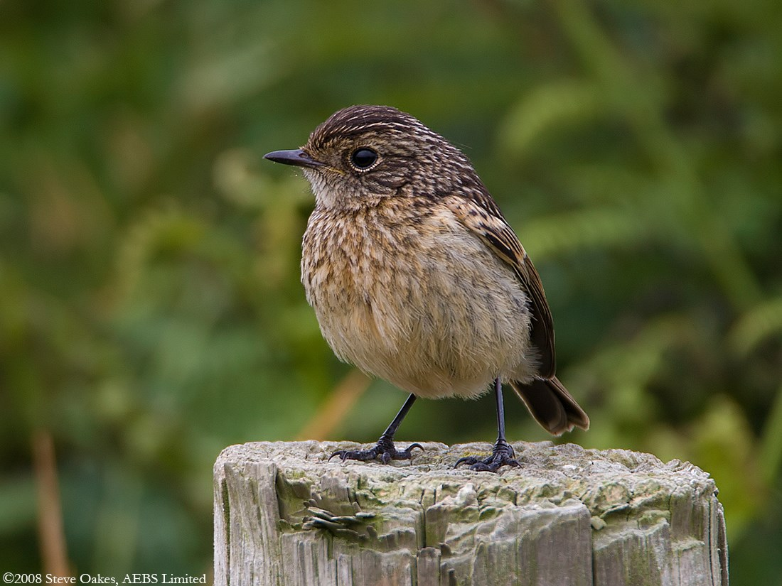 stone chat Welcome to birdwatch ireland, the conservation charity and membership organisation that protects ireland's birds and habitats.