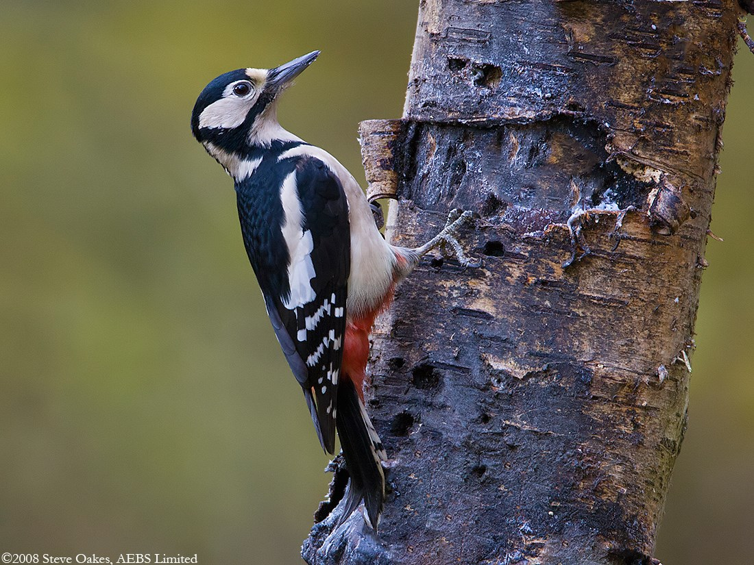 Great Spotted Woodpecker: a description of where interesting facts live 80